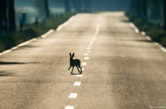 заяц перебегает дорогу